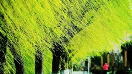 万条垂下绿丝绦!挡不住的好春光,赏不够的南京柳