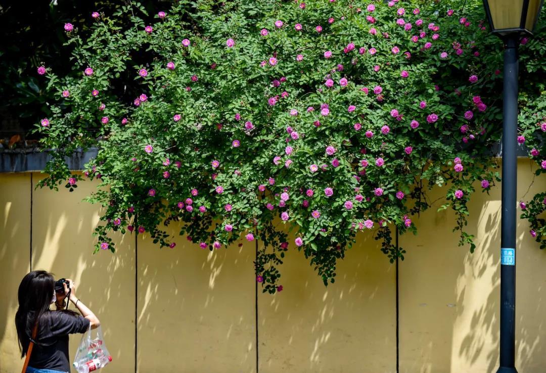 """春天,頤和路的薔薇攀墻成""""網紅""""地,吸引市民前來賞花拍照。南報融媒體記者 段仁虎 攝"""