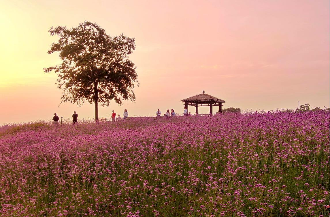 江宁谷里大塘金紫色花海。通讯员 胡悦南报融媒体记者 冯芃摄