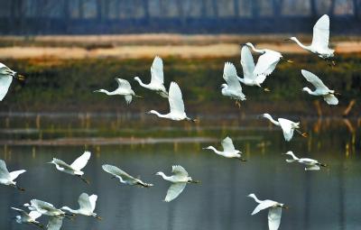 """我市坚持把长江生态环境治理作为推进市域治理现代化的重要内容,打造""""与江共生""""立体保护体系,探索人与自然和谐共生的城市现代化新路径。图为成群的白鹭飞舞在南京绿水湾湿地公园中。 南报融媒体记者 张华摄"""