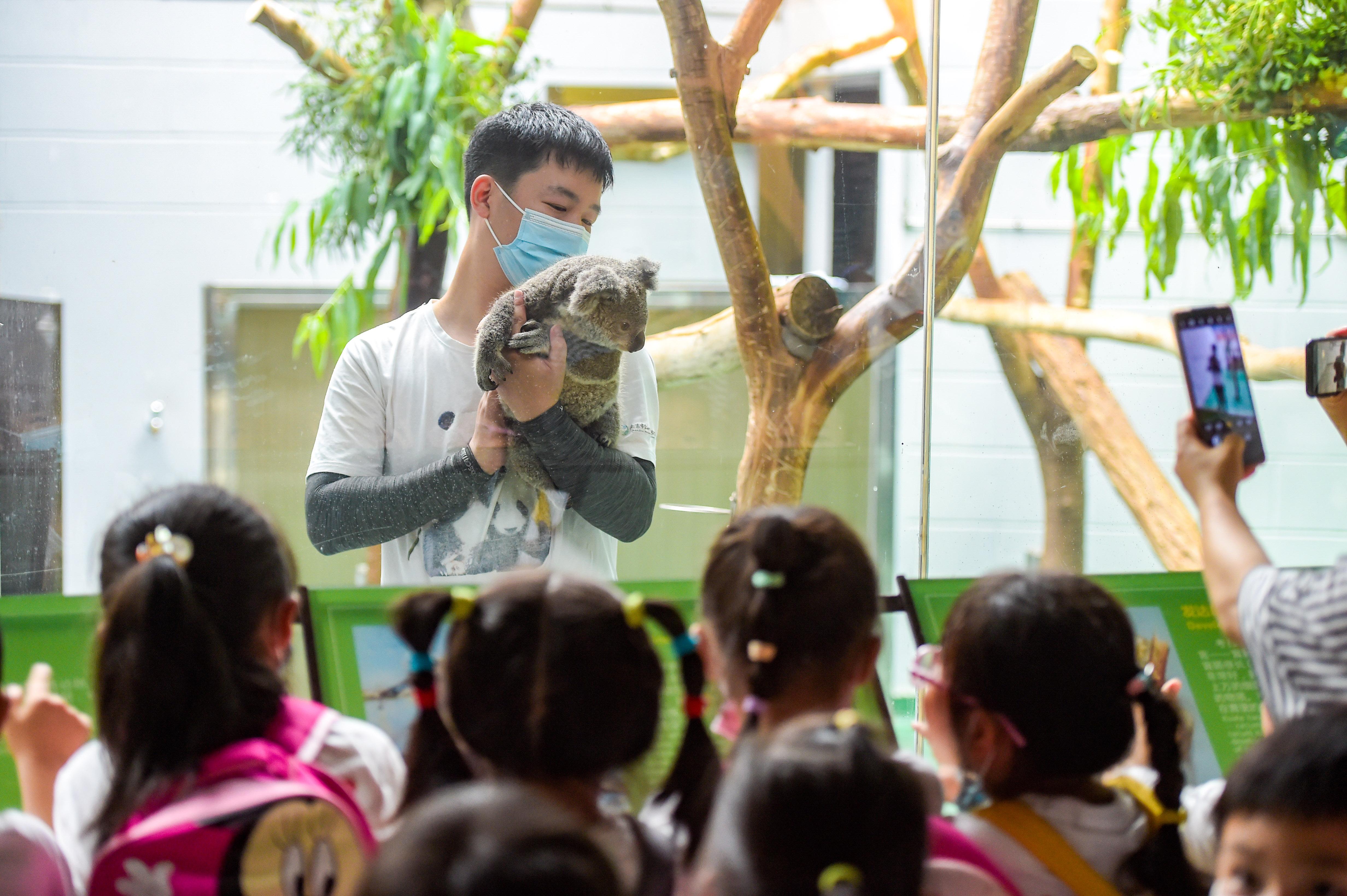 """昨天,红山森林动物园的考拉三宝""""金桔""""迎来一周岁生日。 南报融媒体记者 段仁虎摄"""
