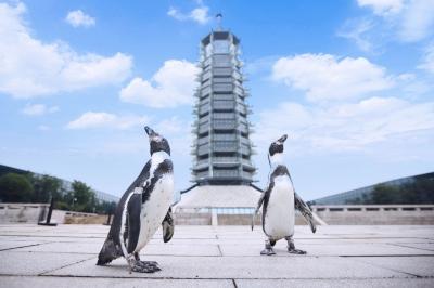 """萌萌的企鹅""""逛""""大报恩寺遗址景区。南报融媒体记者 邢虹摄"""