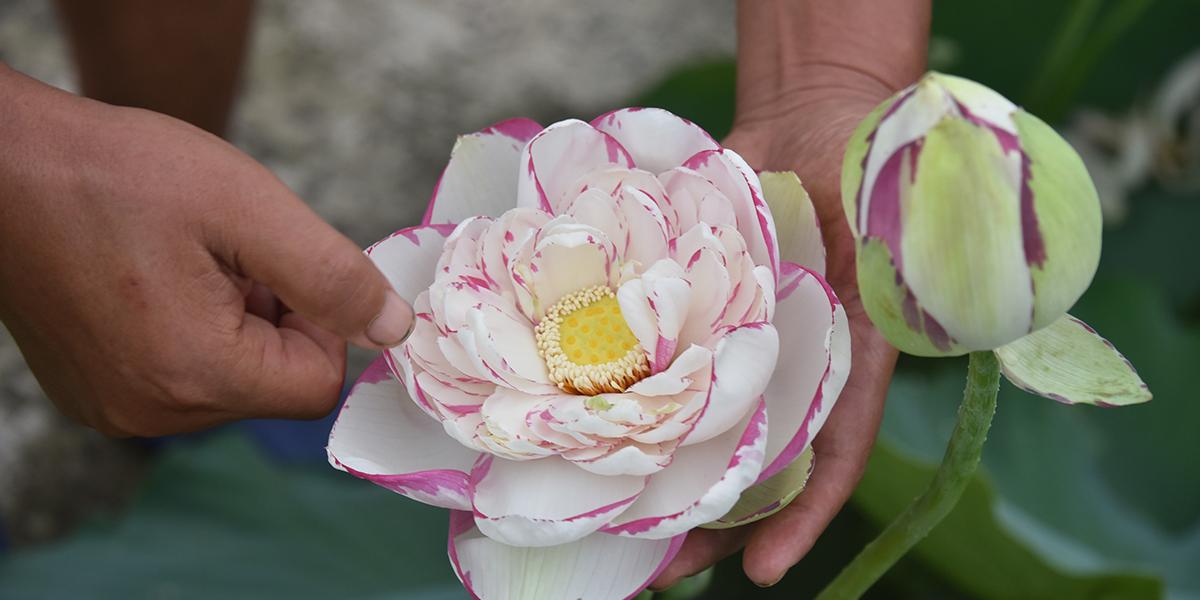 世界首个人工培育斑莲荷花品种在宁诞生
