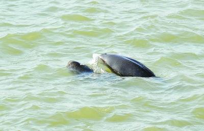 现在南京江边,江豚出现的频次越来越高。 南报融媒体记者 张华摄